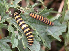 L 39 caille du s ne on tyria jacobaeae - Chenille jaune et noire danger ...