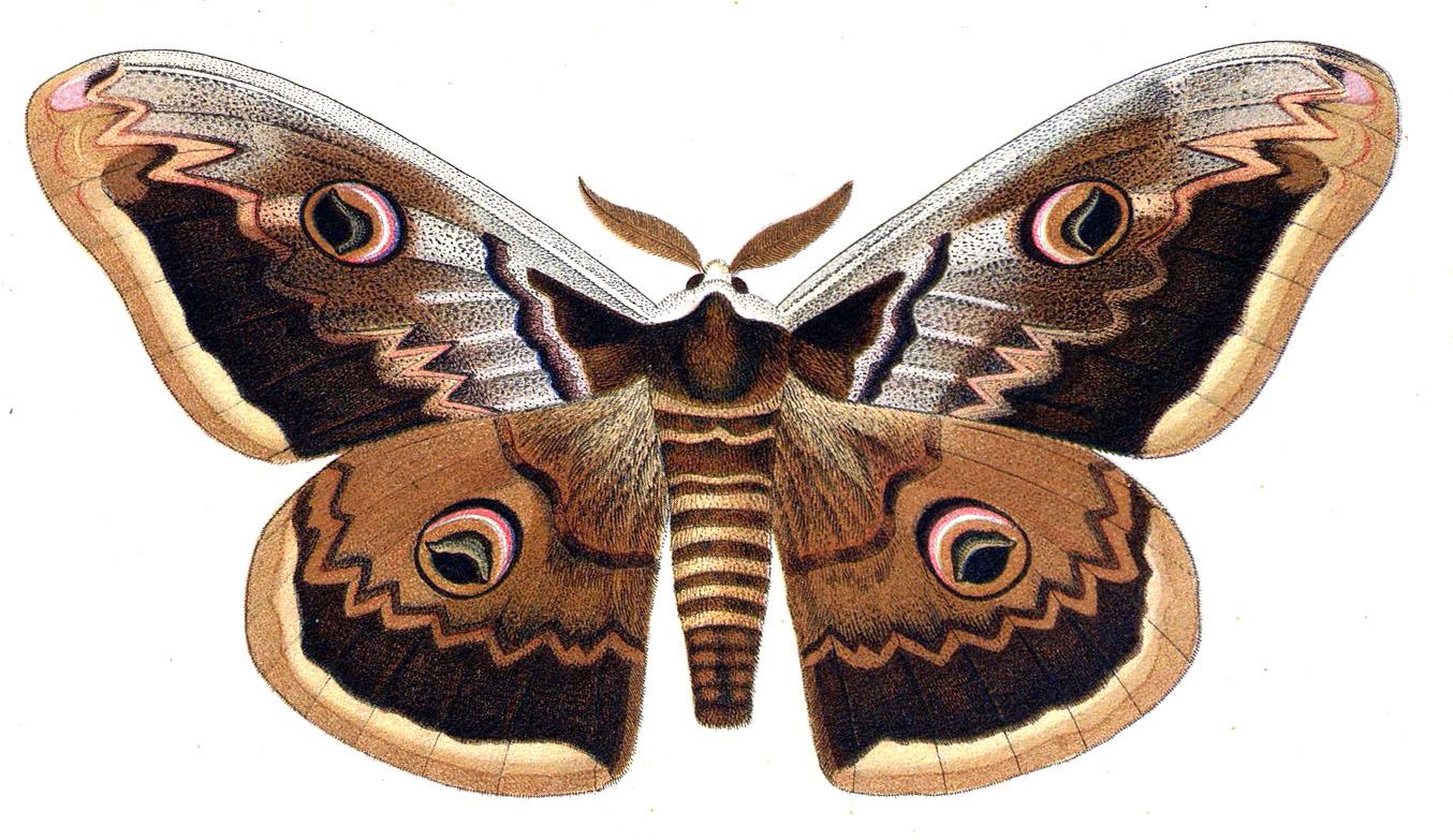 Le grand paon de nuit saturnia pyri - Duree de vie papillon de nuit ...