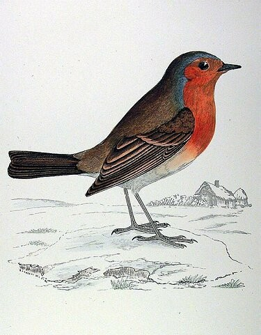 Le rougegorge familier erithacus rubecula for Nichoir a rouge gorge