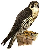 Godefroi de mont precieux le noble de saphir - Dessiner un faucon ...