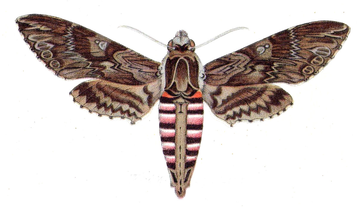 Le sphinx du liseron agrius convolvuli - Duree de vie papillon de nuit ...