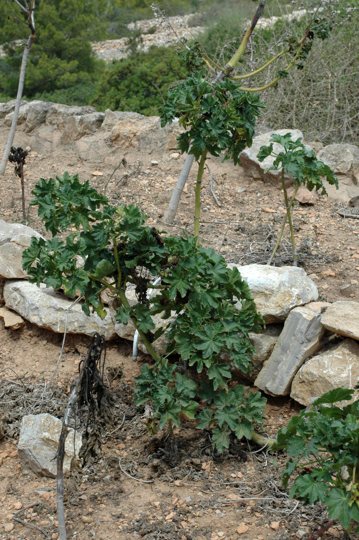 La flora dell'isola di Cabrera a Maiorca