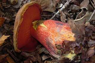 A guéri le microorganisme végétal par la superchélidoine
