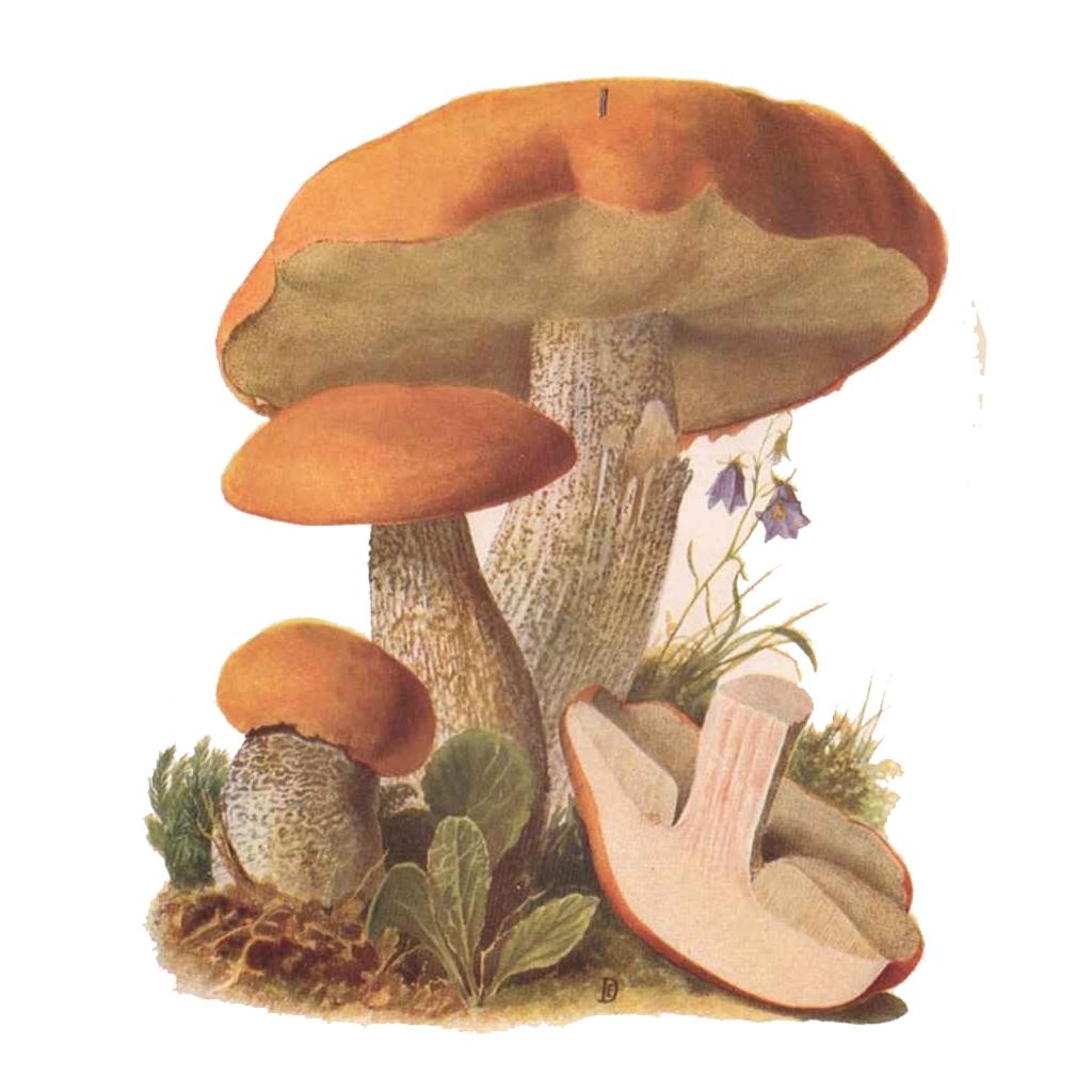 Le bolet orang leccinum aurantiacum - Orange dessin ...