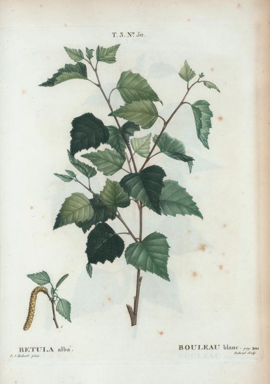 Betula alba bouleau blanc - Polygala myrtifolia feuilles jaunes ...