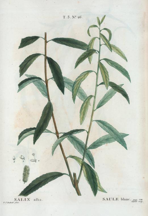 Salix alba saule blanc - Polygala myrtifolia feuilles jaunes ...