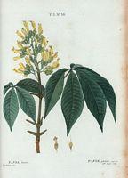 Planches de botanique de duhamel du monceau volume 3 - Polygala myrtifolia feuilles jaunes ...