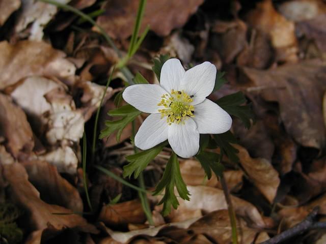 L 39 an mone sylvie anemone nemorosa for Portent feuilles