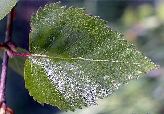 Le bouleau verruqueux (Betula pendula)