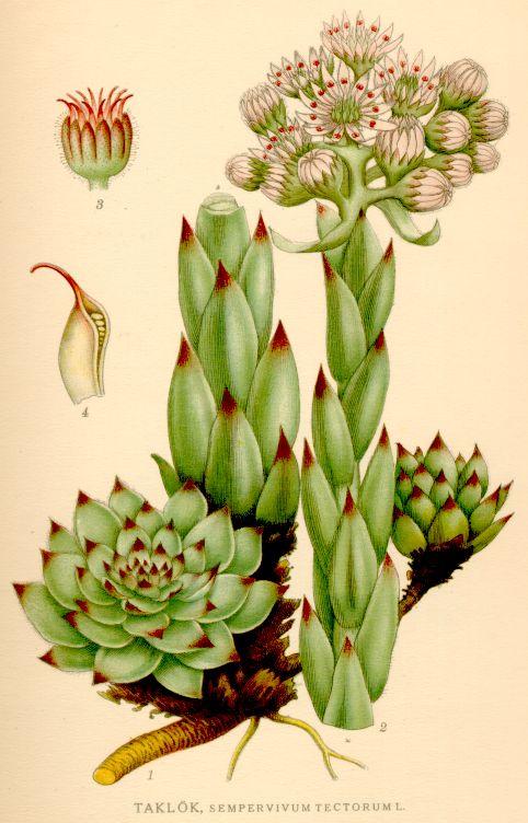 La joubarbe d 39 auvergne sempervivum tectorum arvernense for Artichaut plante grasse