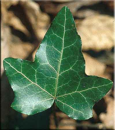 Hedera Helix Ivy