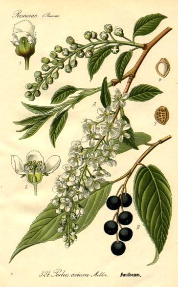 Cerisier Bois Puant : M?risier ? grappes. Dessin d'identification. Cliquer pour agrandir l