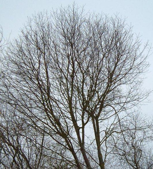Cerisier Bois Puant : M?risier ? grappes. Sans feuilles. Cliquer pour agrandir l'image.