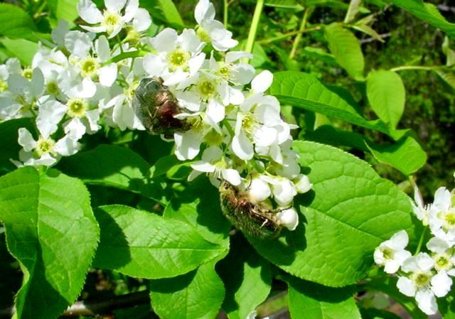 Cerisier Bois Puant : M?risier ? grappes. Fleurs. Cliquer pour agrandir l'image.