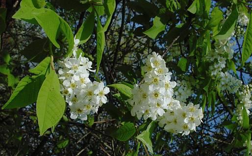 Cerisier Bois Puant : M?risier ? grappes. Grappes. Cliquer pour agrandir l'image.