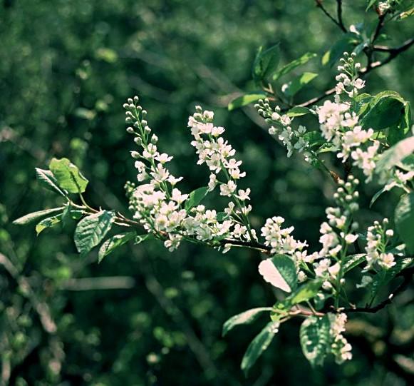 Cerisier Bois Puant : M?risier ? grappes. Rameaux. Cliquer pour agrandir l'image.