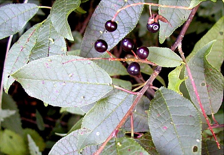 Cerisier Bois Puant : M?risier ? grappes. Fruits. Cliquer pour agrandir l'image.