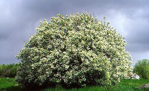 Cerisier Bois Puant : M?risier ? grappes. Plante. Cliquer pour agrandir l'image.