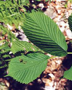 L 39 orme de montagne ulmus montana for Portent feuilles