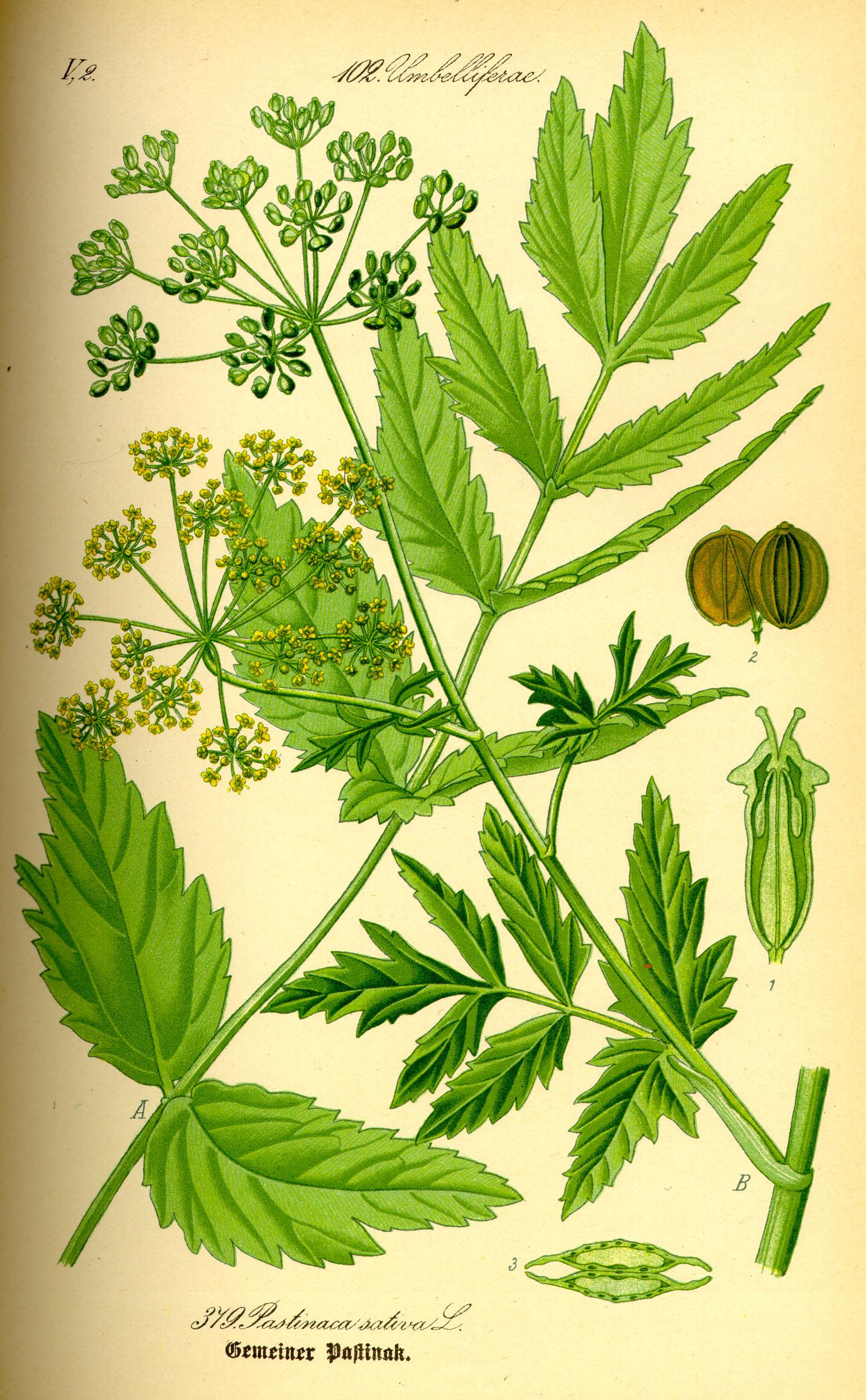 Le panais cultivé (Pastinaca sativa)