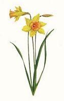 La jonquille narcissus pseudo narcissus - Dessin jonquille fleur ...