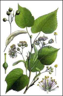 Le tilleul grandes feuilles tilia platyphyllos - Tilleul a grandes feuilles ...