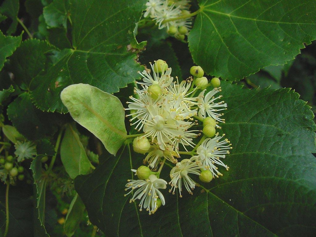 Le tilleul petites feuilles tilia cordata - Tilleul a grandes feuilles ...