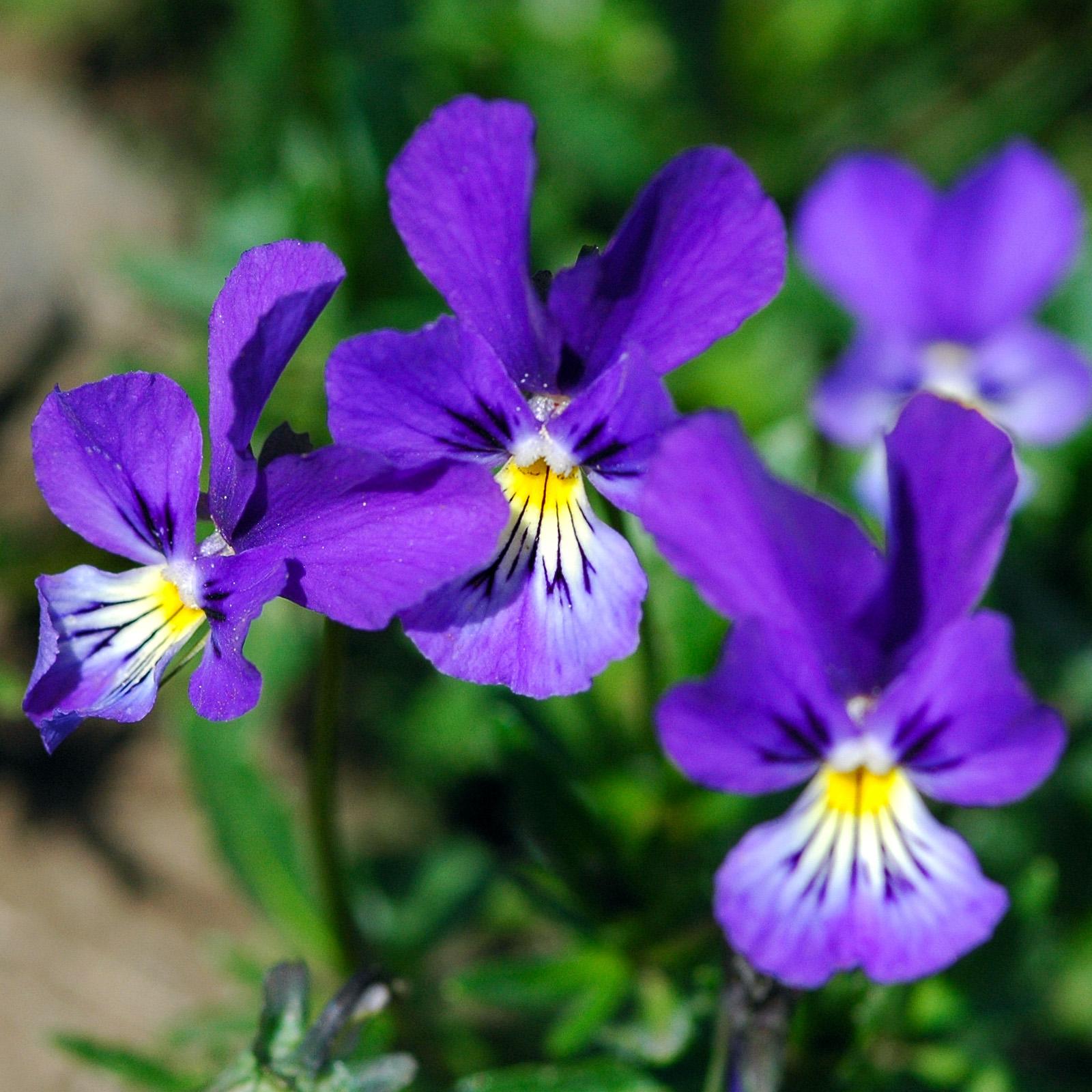 La violette tricolore viola tricolor - Image fleur violette ...