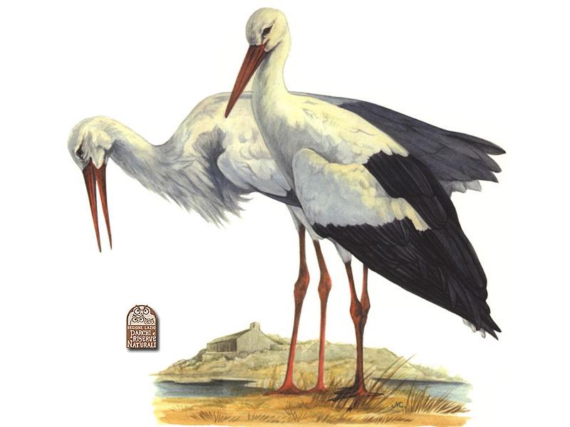 La cigogne blanche ciconia ciconia - Cigogne dessin ...