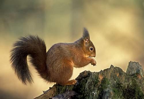 L écureuil Roux Sciurus Vulgaris