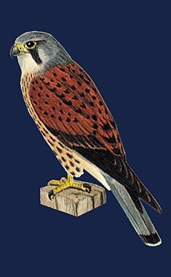 Le faucon cr cerelle falco tinnunculus - Dessin de faucon ...