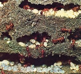 la fourmi rousse formica rufa. Black Bedroom Furniture Sets. Home Design Ideas
