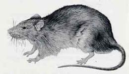 Le rat brun ou rat d 39 gout rattus norvegicus - Dessin d un rat ...