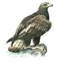 L 39 aigle royal aquila chrysaetos - Dessin d aigle royal ...
