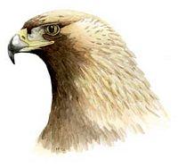 Dessin D Aigle Royal l'aigle royal (aquila chrysaetos)