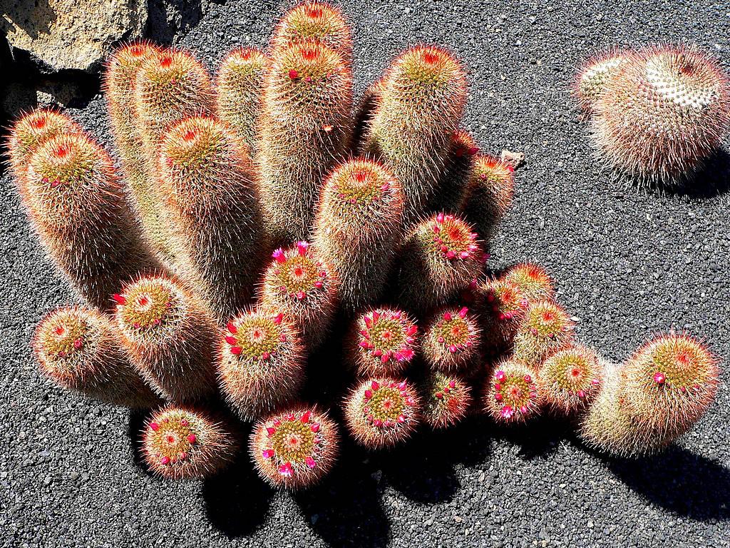 El pueblo de guatiza en lanzarote el jard n de cactus for Jardines con cactus y piedras