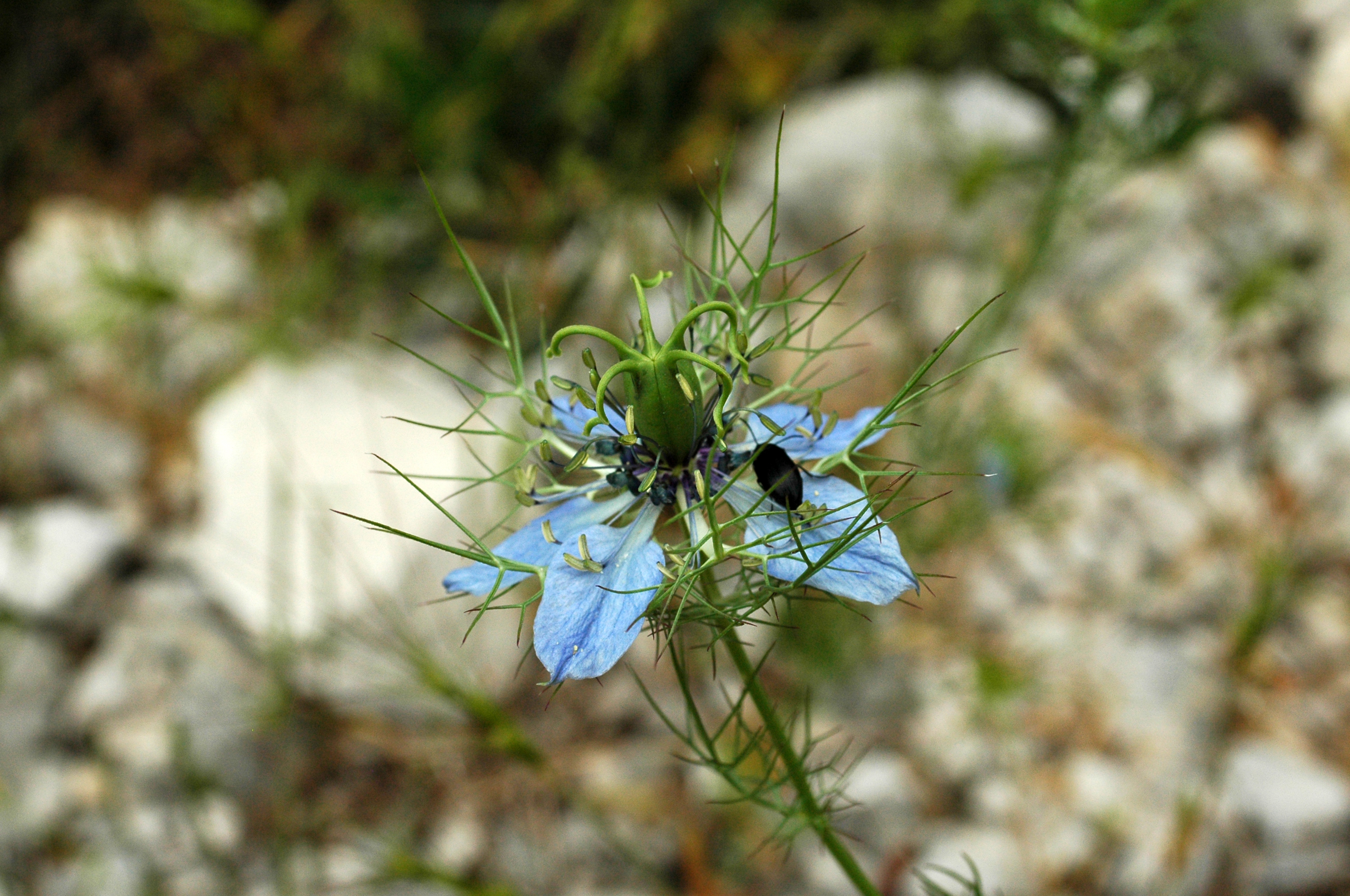Flora and fauna of croatia - Nigelle de damas ...
