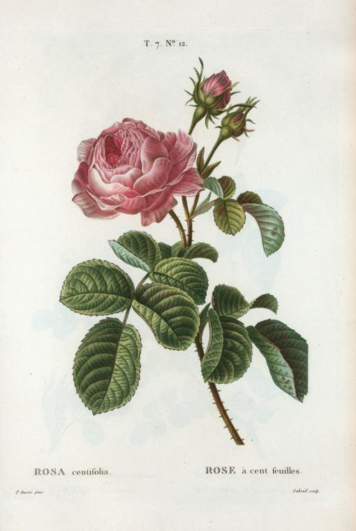Rosa centifolia (Rose à cent feuilles)
