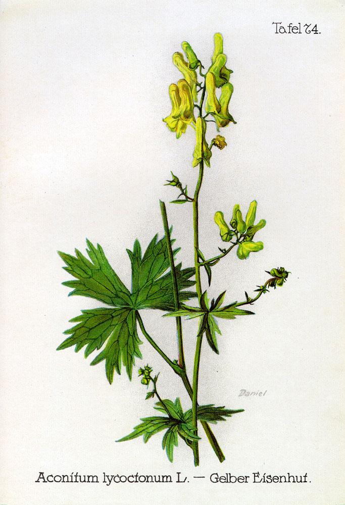 L Aconit Tue Loup Aconitum Lycoctonum