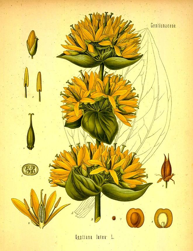 la gentiane jaune gentiana lutea