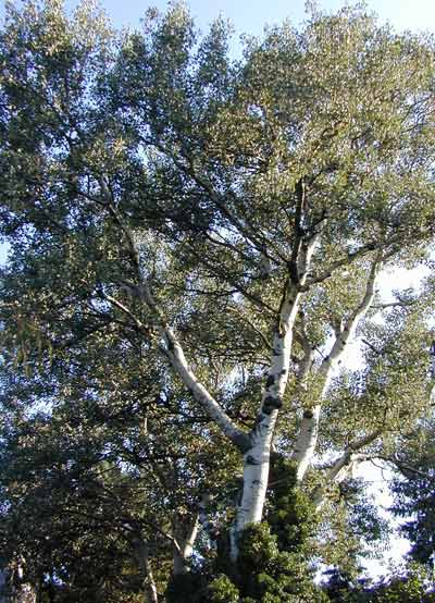 populus Alba Peuplier Blanc