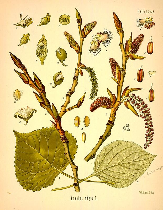 le peuplier noir  populus nigra