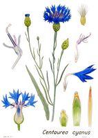 La Centauree Bleuet Centaurea Cyanus