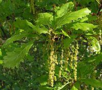 Le Chene Sessile Ou Chene Rouvre Quercus Petraea
