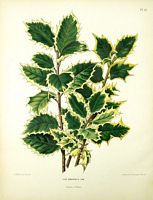 Le Houx Commun Ilex Aquifolium