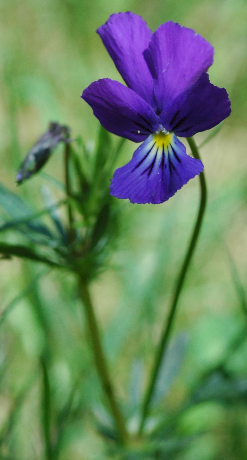 la violette tricolore  viola tricolor